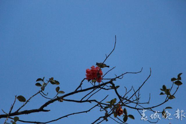花开春更深 来腾冲和睦村赴一场茶花之约